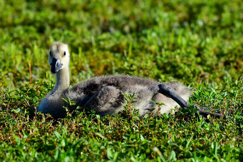 A young fuzzy gray gosling sits down and rests in a grassy area.