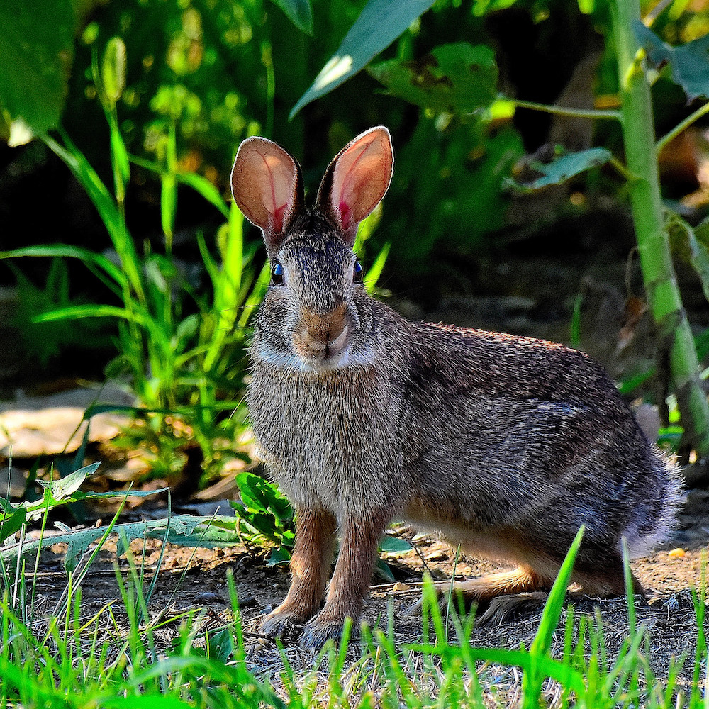A gray and tan cotton-tailed rabbit pauses with ears perked-up and alert on the edge of a sunflower patch.