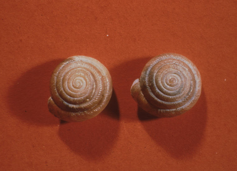 Two tan, brown snail shells against a reddish orange background.