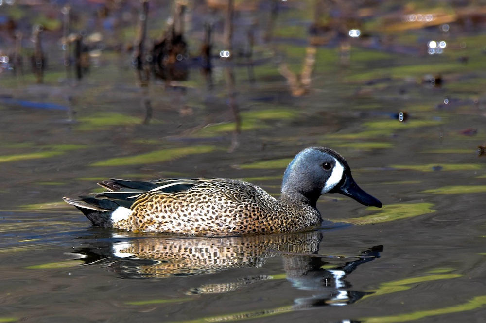 A mottled tan and black duck with a light blue head and a white crescent near its bill forages on a wetland.