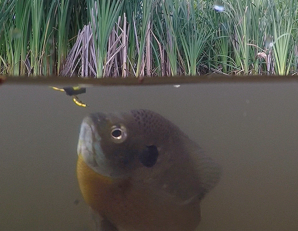 A green fish with yellow on its belly investigates a bug on the water's surface. Cattails and vegetation on above the water level and in the background.