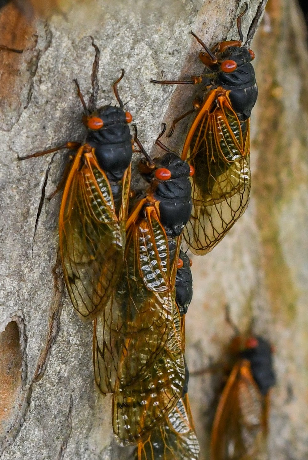 A group of cicada insects with orange wings and dark green bodies clinging to a trunk of a tree.