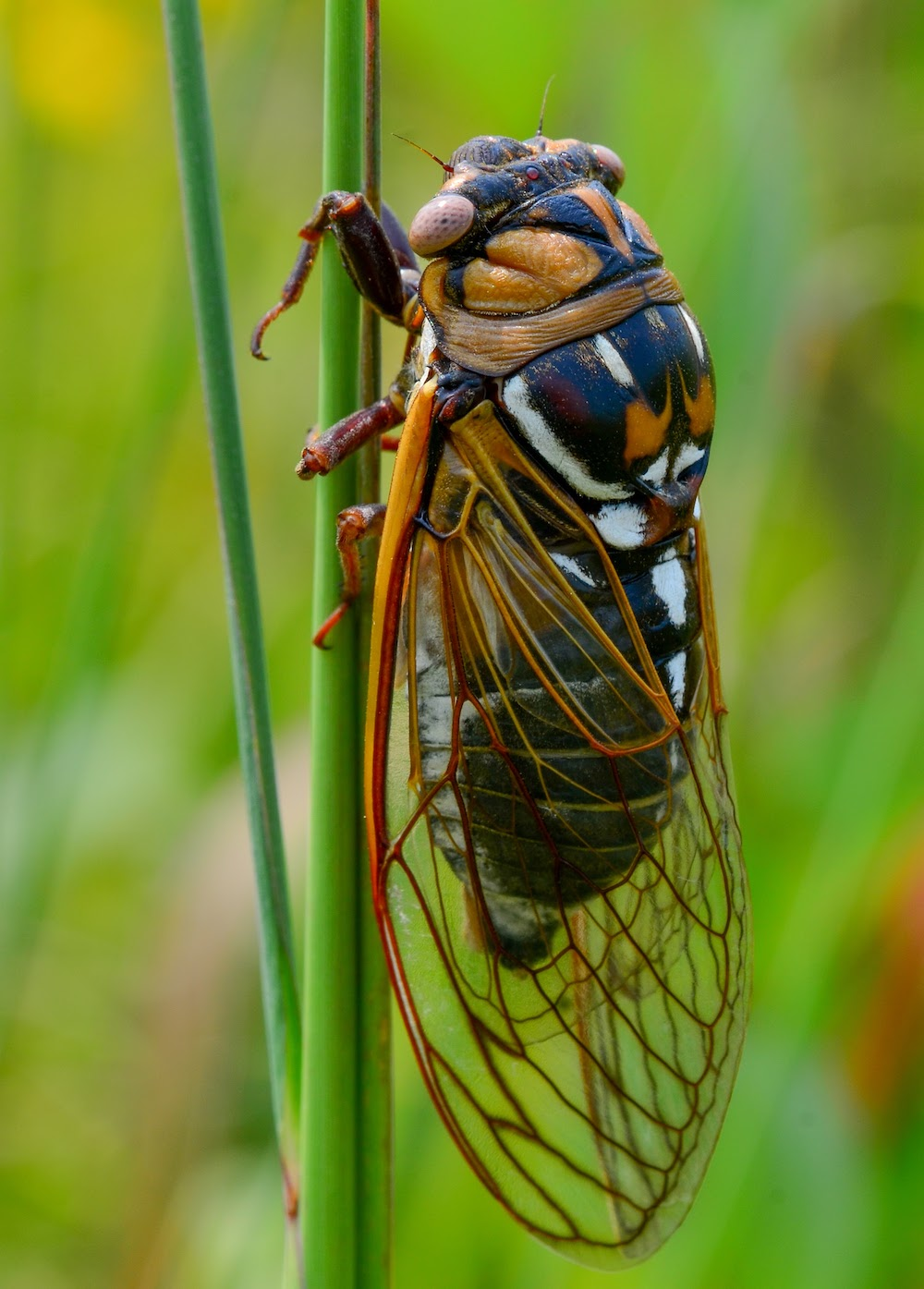 A cicada insect with orange wings, orange eyes, and mottled white and orange and green body perched on a tall prairie grass.