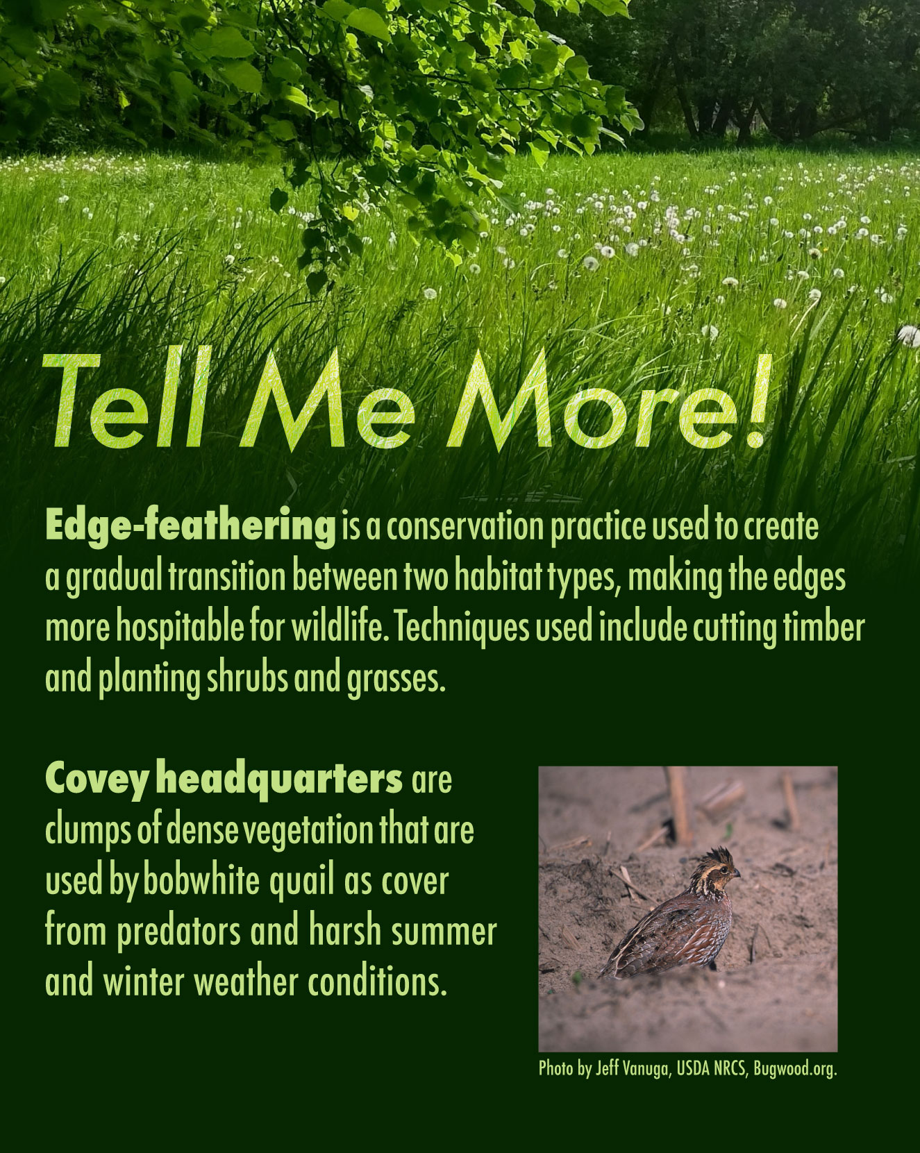 A graphic with text overlaying a photo of a green grassy area with trees in the background. The text explains that edge-feathering is a conservation practice used to create a gradual transition between two habitat types, making the edges for hospitable for wildlife. Techniques include cutting timber and planting shrubs and grasses. The text also explains that a covey headquarters are clumps of dense vegetation that are used by bobwhite quail as cover from predators and harsh summer and winter conditions. There is a photo of a mostly brown female bobwhite quail on the bottom right of the graphic.
