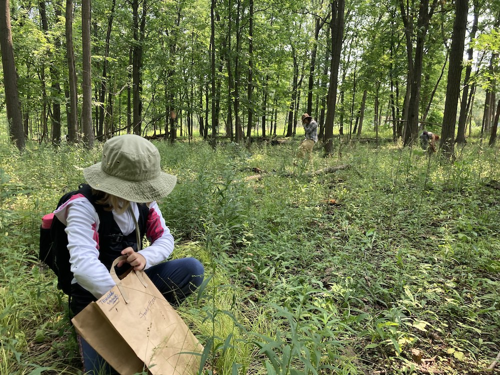 Two individuals collect seeds at a lush green summer savanna meadow. Trees are in the background.