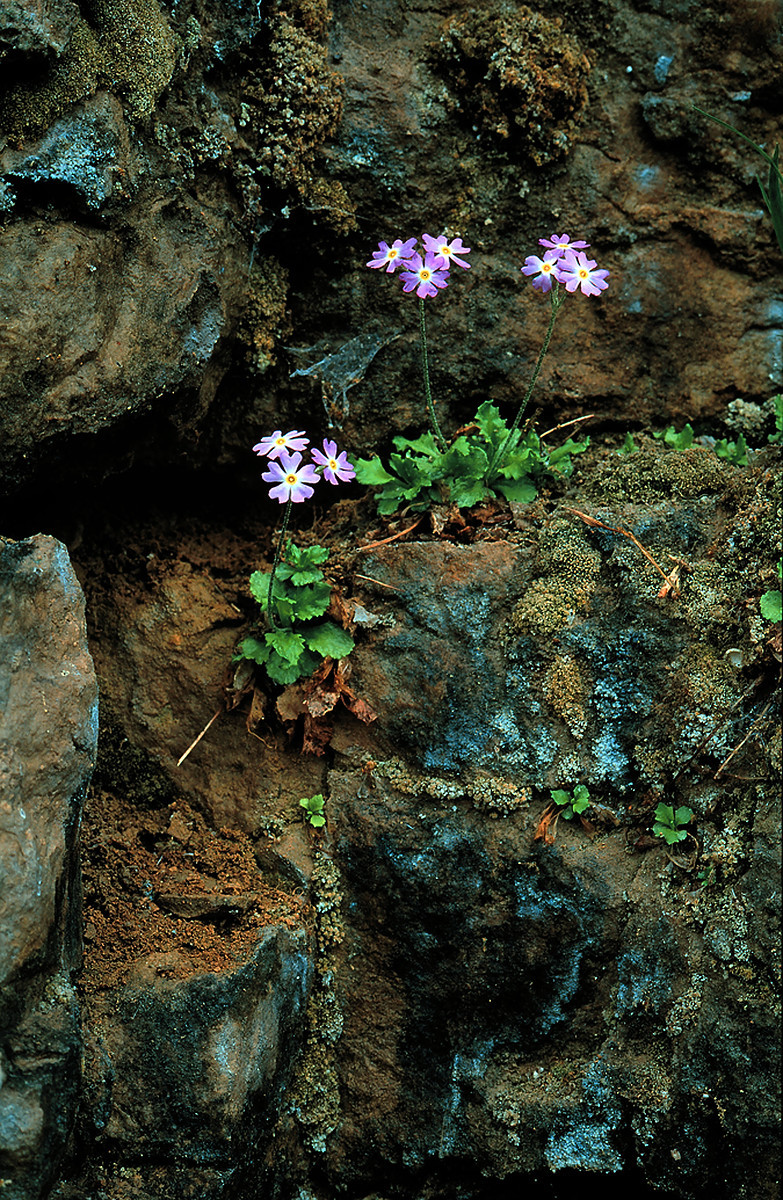 Three plants with three purple flowers each are in full bloom rooted in a crack of a boulder. Mosses are growing around the flowering plants.