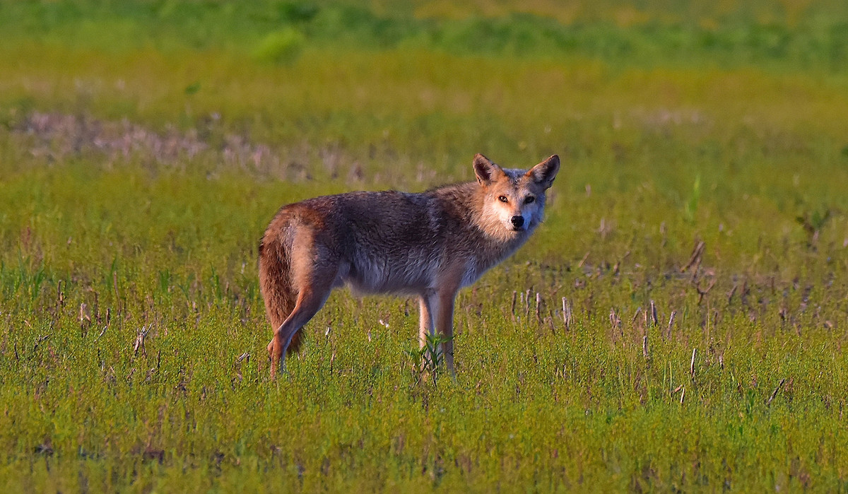 A gray, tan, and brown coyote pauses  in its trek across a harvested agricultural field.